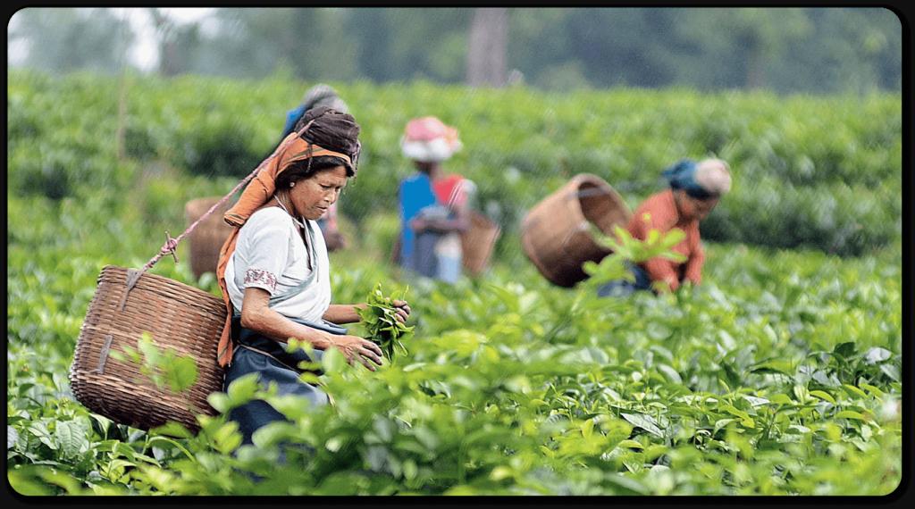 tea business in Assam